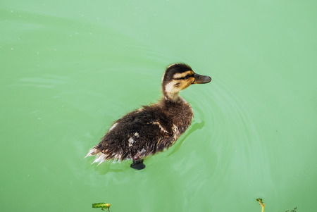 Small duck swimming in green water photo