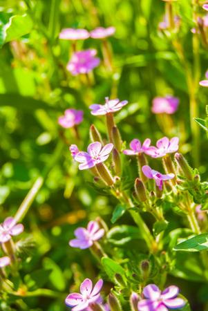 Blooming pink meadow flowers (Phlox douglasii) photo