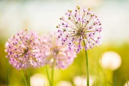 Paarse bloemen van Allium (Bloeiende Ui) in de lente Stockfoto