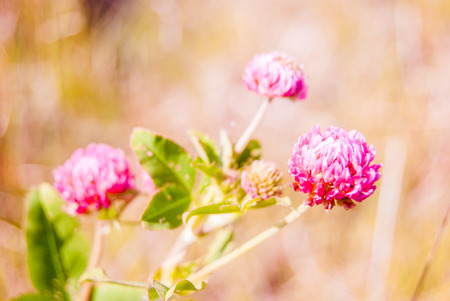 red clover: Red clover flower on summer green meadow. Stock Photo
