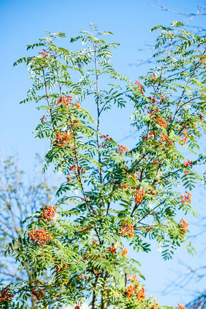 sorbus: Red berries of Sorbus on green branches in sunlight against blue sky