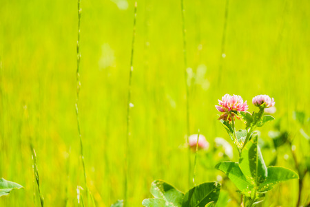 Red clover flower on summer green meadow. photo