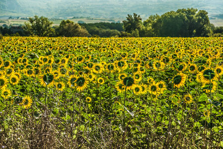 Beautiful landscape with field of sunflowers and mountains in distance photo