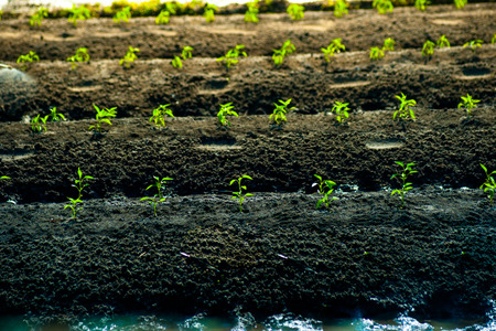 Rows of growing cereal sprouts in black soil in agricultural field photo