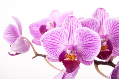 natural health and beauty: Beautiful purple flower of orchid on white. Gorgeous flower background with Phalaenopsis species. Stock Photo