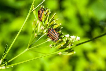 bedbug: red striped bedbug on green  flower stem in the forest Stock Photo