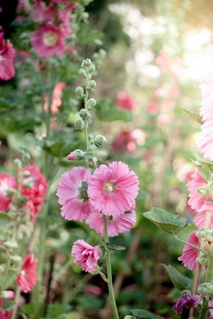 alcea: Malva (Alcea rosea hollyhock) flowers in a garden. Gorgeous floral for holidays, beauty and nature.