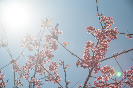 wielkopolska: Flowering apricot tree shot against bright spring sun. Bright and colorful with vintage overtones. Stock Photo