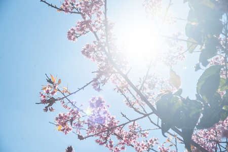 wielkopolska: Flowering apricot tree shot against bright spring sun Stock Photo