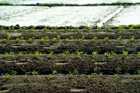 black soil: Rows of growing cereal sprouts in black soil in agricultural field Stock Photo