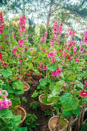 alcea: Malva (Alcea rosea malvarrosa) flores en un jard�n