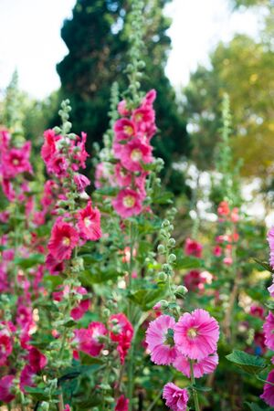 alcea: Malva (Alcea rosea hollyhock) flowers in a garden. Gorgeous floral background for holidays, beauty and nature.