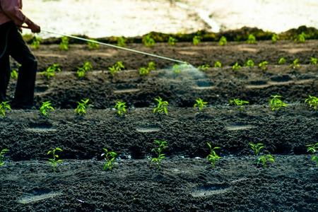 contaminacion ambiental: Un hombre camina entre los brotes verdes cuidadosamente cultivadas y aerosoles insecticidas. Escena agrícola natural.