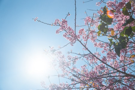 wielkopolska: Flowering apricot tree shot against bright spring sun. Bright and colorful background with vintage overtones.