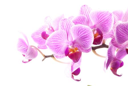 orchidee: Rosa orchidea in vaso su sfondo bianco. Immagine di amore e di bellezza. Sfondo naturale ed elemento di design.