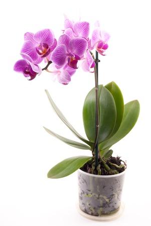Roze orchidee in de pot op witte achtergrond. Afbeelding van liefde en schoonheid. Natuurlijke achtergrond en design element. Stockfoto
