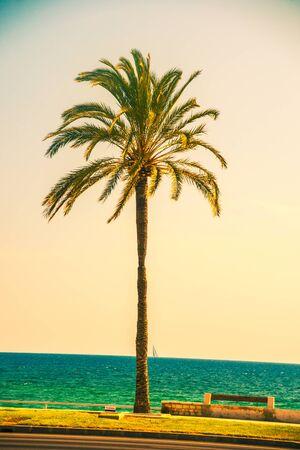 palmier: Les palmiers le long de la côte à Palma de Mallorca à belle journée ensoleillée. Image de vacances tropicales et de bonheur ensoleillé. photo vintage Filtré.