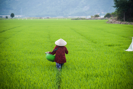 conical hat: NHA TRANG, VIETNAM - FEBRUARY 11, 2015: A woman in traditional conical hat works in a rice field in Nha Trang, Vietnams Agricultures share of economic output has declined in recent years. Editorial