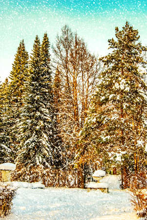 evergreens: winter landscape with evergreens