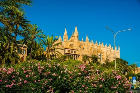 Beautiful flowers on the bushes in Palma de Mallorca. Cathedral building viewed through lush greenery of the island. Big gothic church beside palm trees under the blue sky at sunset.