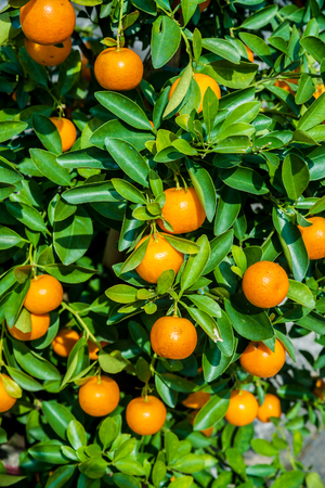 florida citrus: Little tangeries trees in pots in a garden. These trees are used as a holiday decoration in Asia.