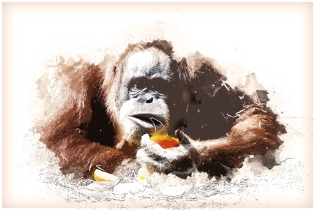 hairy arms: Orangutan is being distracted from eating an orange. Vintage painting, background illustration, beautiful picture, travel texture