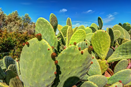 Cactus plant, Prickly pear cactus close up, cactus spines, Bunny Ears cactus or Opuntia Microdasys