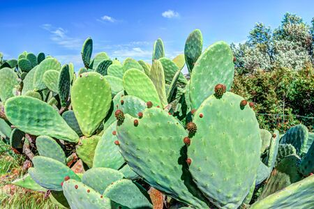 microdasys: Cactus plant, Prickly pear cactus close up, Bunny or Opuntia Microdasys Stock Photo