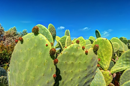microdasys: Cactus plant, Prickly pear cactus close up, Bunny Ears cactus or Opuntia Microdasys Stock Photo