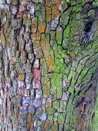 cortical: Bark of tree - outdoors photography of tree bark texture