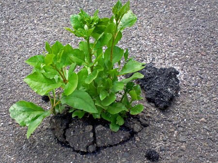 rebirth: Reminder that Mother Nature always wins - outdoors photography of sprout growing through the asphalt