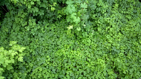 potherb: Potherb background - outdoors photography of green bushes Stock Photo