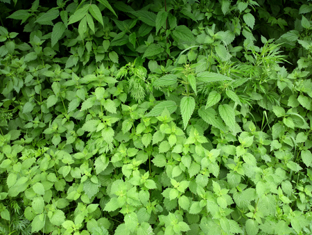 greenness: Greenness background - outdoors photography of green bushes