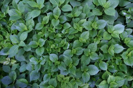 potherb: Fondo potherb - al aire libre fotograf�a de arbustos verdes