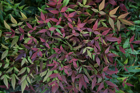 reddening: Reddening leaves - outdoors photography of colored bushes Stock Photo