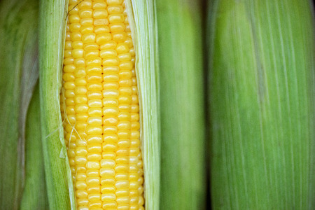 beauteous: Grains of ripe corn. corn cob between green leaves, close-up. Selective focus. high resolution product.