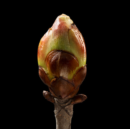 Horse Chestnut on black background. Macro. Nature. High resolution product