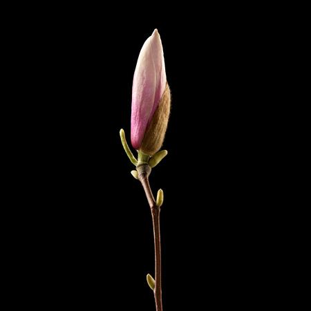 Magnolia flower on black background. Macro. Nature. High resolution product Banco de Imagens