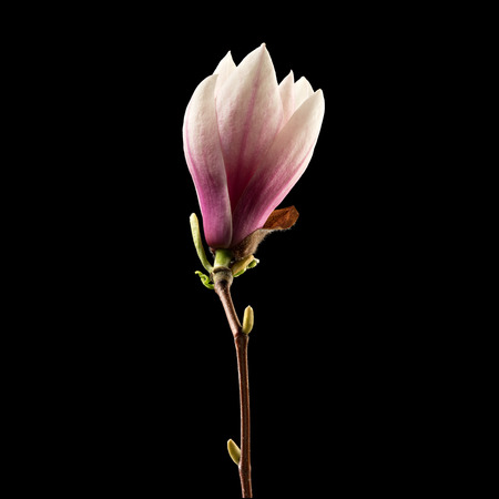 Magnolia flower on black background. Macro. Nature. High resolution product 版權商用圖片