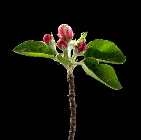Flowering branch of apple on black background. Macro. Nature. High resolution product Stok Fotoğraf - 97765549