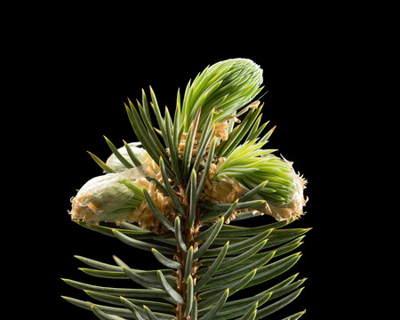 Pine branch on black background. Macro. Nature. High resolution product