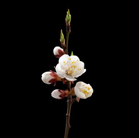Branche floraison d & # 39 ; abricot sur fond noir. macro macro. haute résolution de produit Banque d'images - 98168466