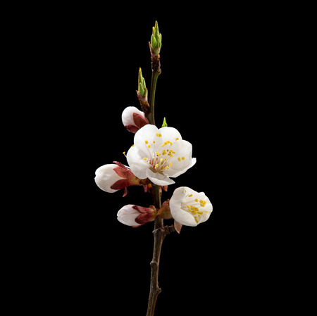 Flowering branch of apricot on black background. Macro. Nature. High resolution product