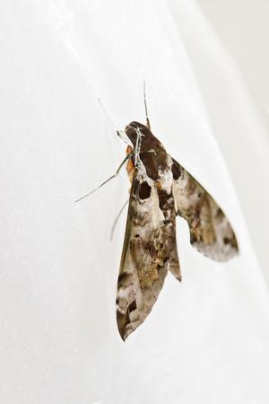 Big brown moth Stock Photo