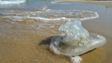 Jellyfish season concept image. Rhopilema nomadica jellyfish at the beach of the Mediterranean sea. It has vermicular filaments with venomous stinging cells and can cause painful injuries to people.