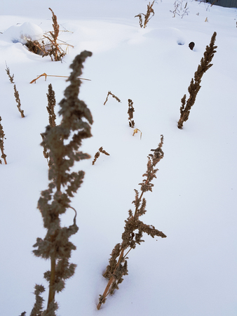 Dry grass and a branch of dry grass in the winter on the background of snow