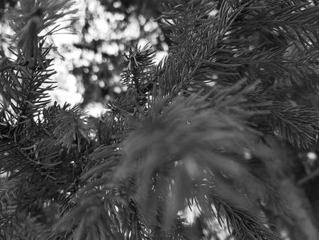 Muy hermosas agujas y agujas de un árbol de Navidad o pino en una rama. Foto de archivo