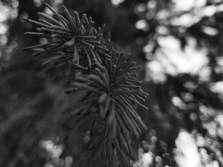 Very beautiful needles and needles of a Christmas tree or pine on a branch Stock Photo