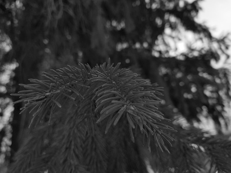 Very beautiful needles and needles of a Christmas tree or pine on a branch 写真素材