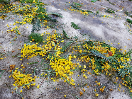 Beautiful scattered mimosa flowers in the snow and on the asphalt in winter or spring